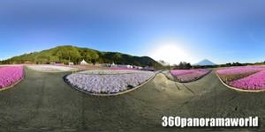 150511_shibazakura_01s